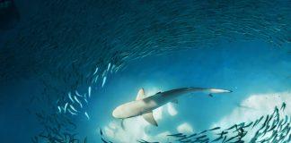 mergulhar com tubarão